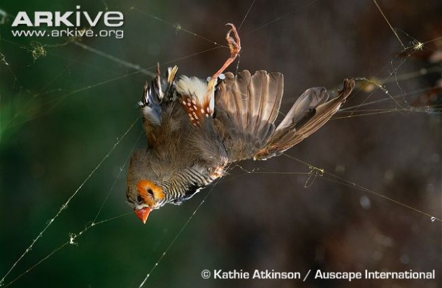 web-of-golden-orb-spider-with-caught-zebra-finch